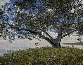 Live Oak - Variation E oak 3D model