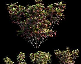 Croton plant set 02 3D