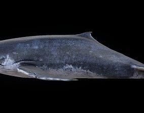 humpback 3D asset realtime Humpback Whale