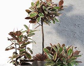 Ficus Elastica in Pots 3D