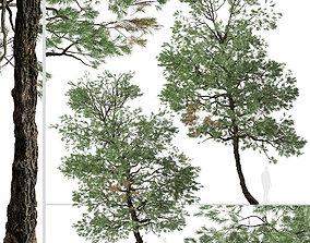 Set of Gray Pine or Pinus sabiniana Tree - 2 3D model