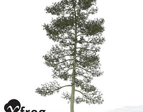 3D model XfrogPlants Bishop Pine