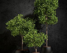 3D Ficus benjamina 01