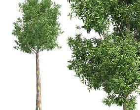 3D asset Rainbow Gum Tree