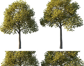 Acer platanoides yellow 3D