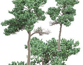 Pine 7 3D model