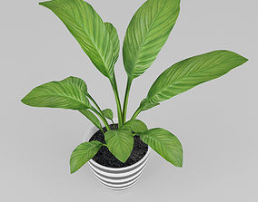 3D Spathiphyllum plant