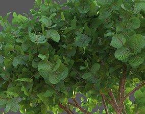 3D XfrogPlants Seagrape - Coccoloba Uvifera
