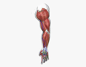 Complete Male Arm Anatomy 3D