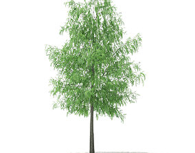White Willow Salix alba 11m 3D