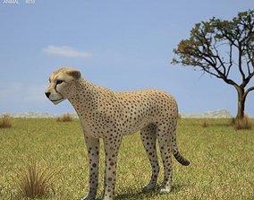 Cheetah Acinonyx Jubatus 3D asset