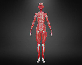 3D model realtime Muscular system muscular