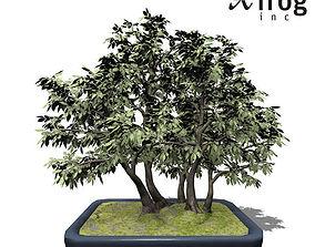 XfrogPlants Hornbeam - Bonsai 3D model