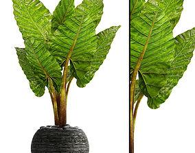 Alocasia macrorrhiza 3 3D model
