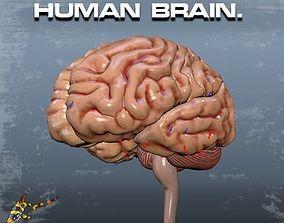 3D animated HUMAN BRAIN