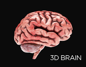 Human Brain with 4k textures 3D anatomy