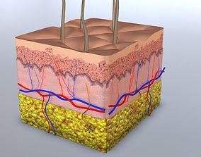 3D model Skin Cross-section