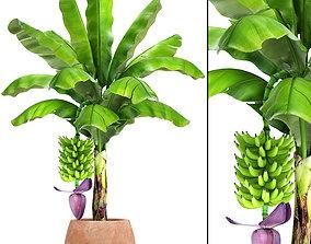 Banana palm with banana fruit 3D model