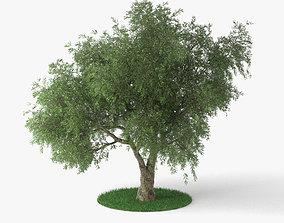 other Olive Tree 3D model