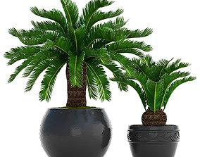 Cycas palm tree 8 3D model