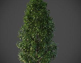 XfrogPlants American Holly - Ilex Opaca 3D model