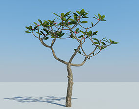 Frangipani Plumeria 3D