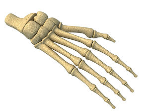 3D model Detailed Animal Foot Bones
