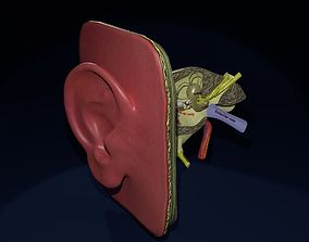 ear anatomy cross section 3D