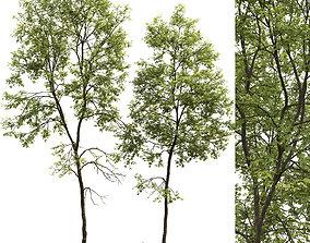 3D Ash-tree 06 H19 22m