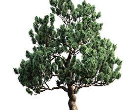 Decorative pine v3 3D asset