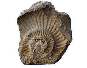 Ammonite Stone 3D asset