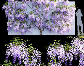 3D Fabaceae - Wisteria sinensis 06