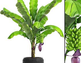 3D model Banana palm with banana fruit 1
