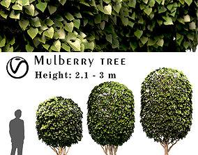 Mulberry Tree Set Morus Tree 3D