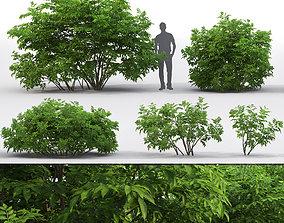 Sambucus nigra 03 plant 3D model