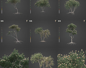 3D model 2021 PBR White Mallee Collection - Eucalyptus