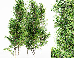Mountain Maple tree collection 5 trees in the 3D model