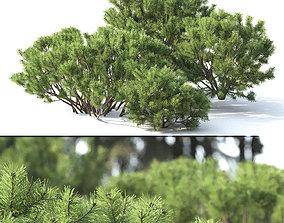 Pinus Mugo 02 3D
