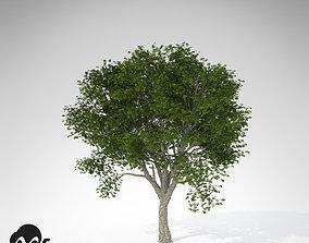 XfrogPlants Amur Corktree 3D