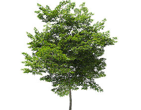 Scotch Elm 3D Model 7m