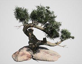 3D asset Jeffrey Pine Tree
