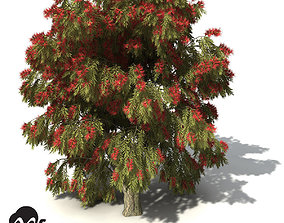 XfrogPlants Weeping Bottlebrush 3D model