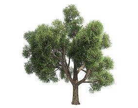 Amur Cork Tree 3D asset