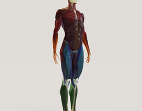 3D Muscles and skeleton