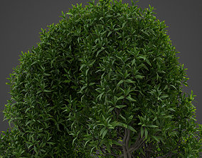2021 PBR Common Privet Collection - Ligustrum 3D model