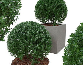 3D Buxus the bush is in shape of ball