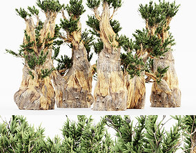 3D Bristlecone Pine tree collection 5 trees in the scene