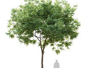 American beech tree 3D
