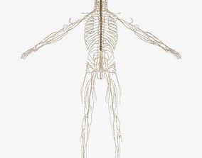 Nervous System 3D asset