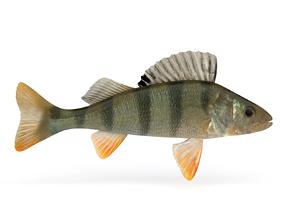 3D Perch Fish